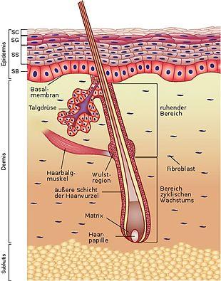 Haarwurzel